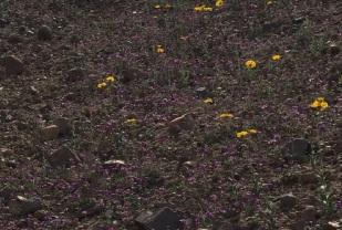 Purple field of desert flowers